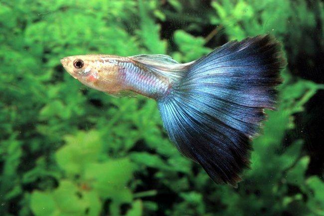 Wie man guppies aufzieht und z chtet for Bilder teichfische