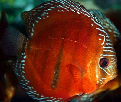 Roter Diskus - Symphysodon discus