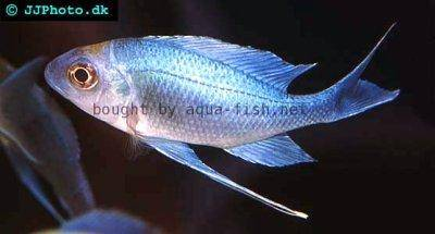 Blauer Fadenmaulbrüter - Ophthalmotilapia ventralis