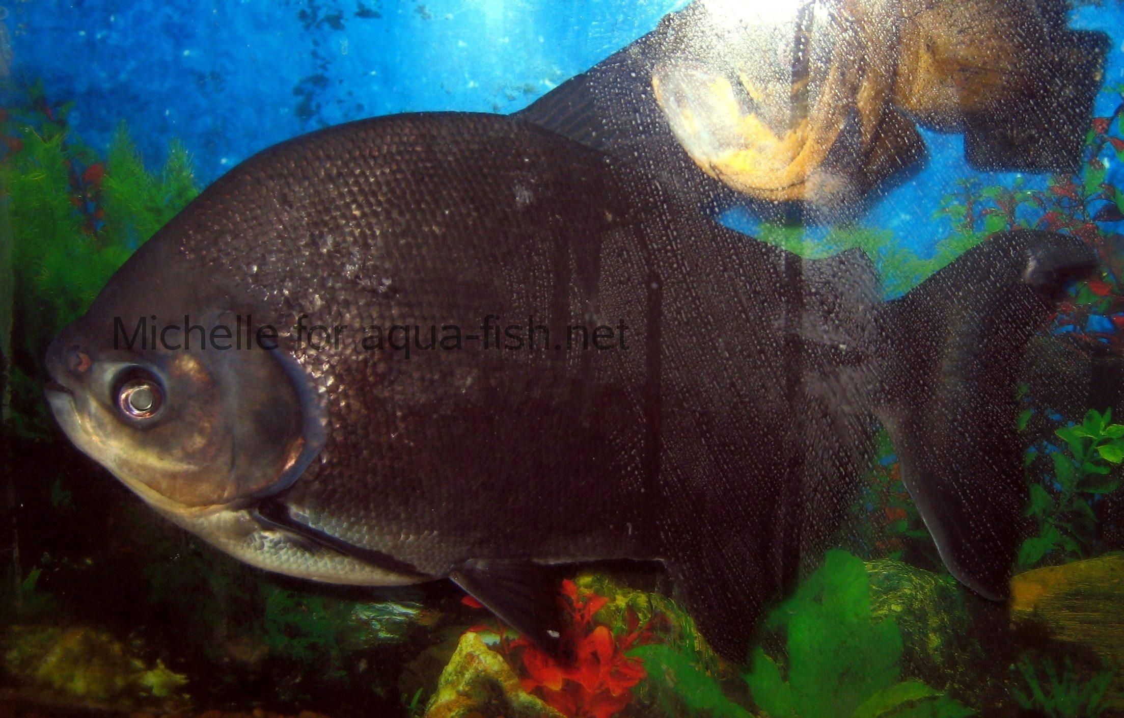 Der pacu fisch for Piranha fish tank